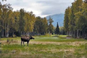 A moose is on the loose at Moose Run GC in Alaska