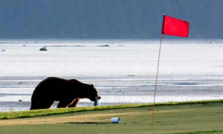 A Brown Bear Catches a Salmon After Tearing out a Cup at Valley of the Eagles Golf Links (Photo by Ron Horn)